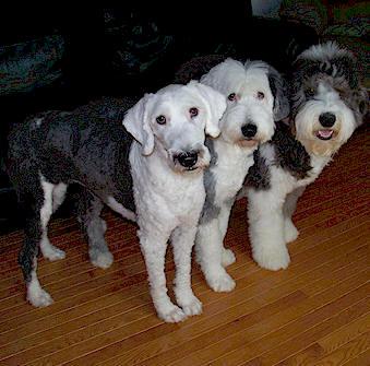 Old English Sheepdog, Trimming Feet \u0026 Legs