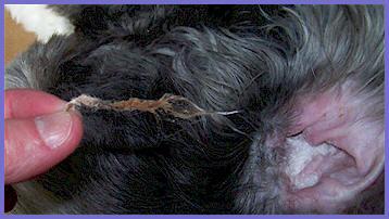 Plucking Ear Hair Old English Sheepdog